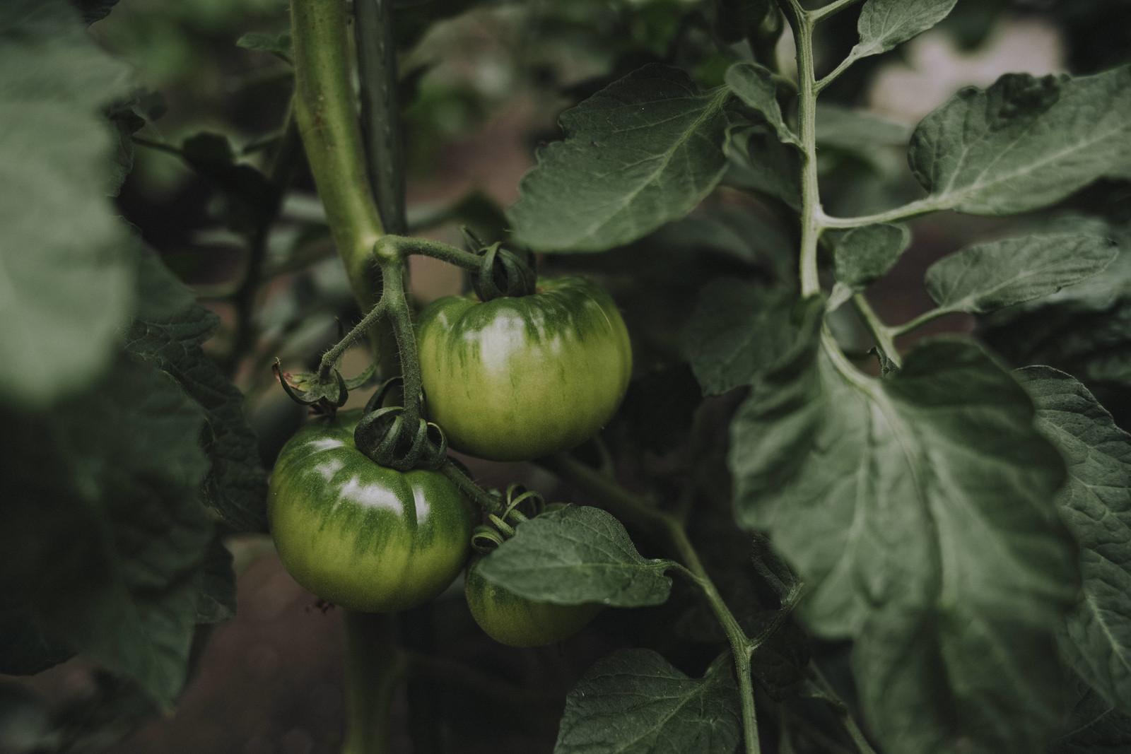 完熟を待つ青いトマトの写真