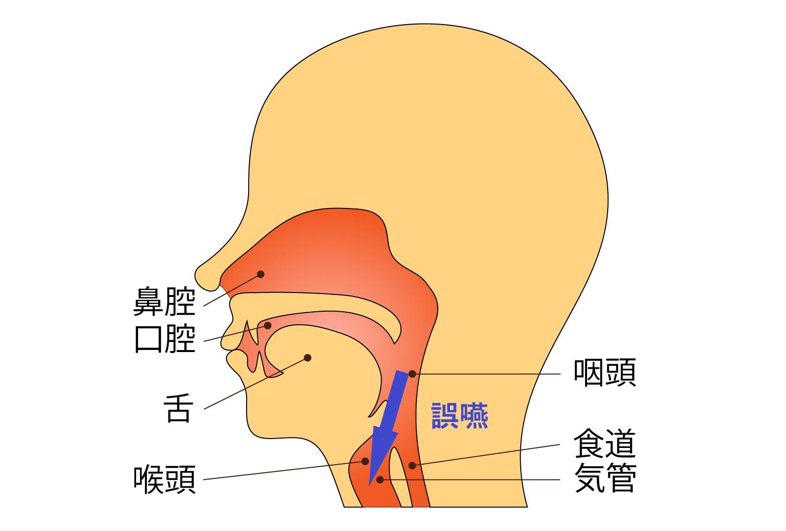 食道と気管のイラスト